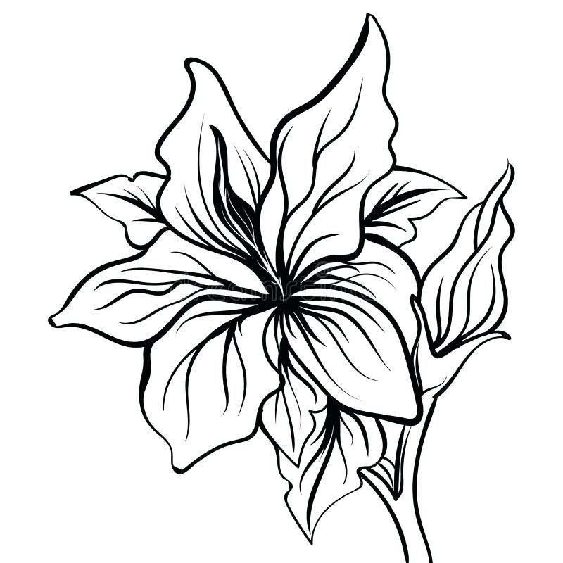 800x800 drawing lily flower calla lily flower drawing tiger lily flower