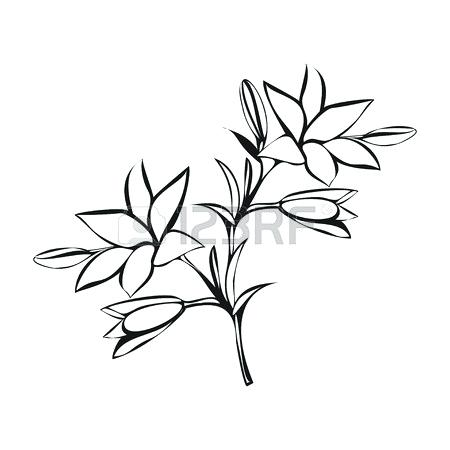 450x450 lily sketch lily sketch on white background lily flower sketch