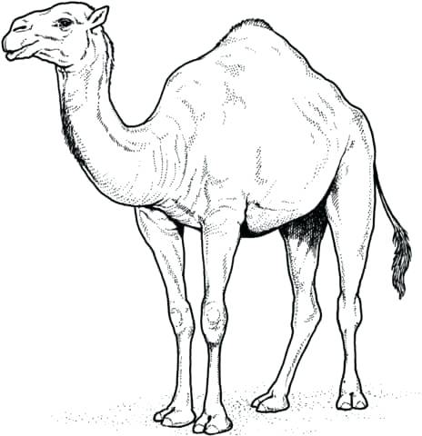 464x480 camels coloring pages alphabet for camel coloring pages cartoon