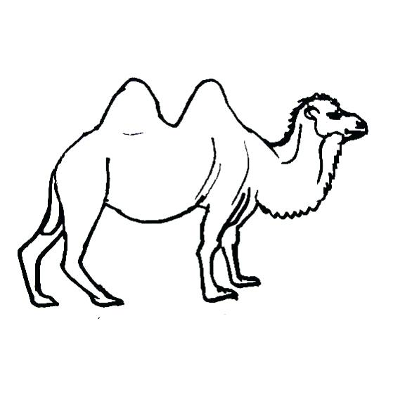 559x561 camels coloring pages camel coloring pages camels coloring pages