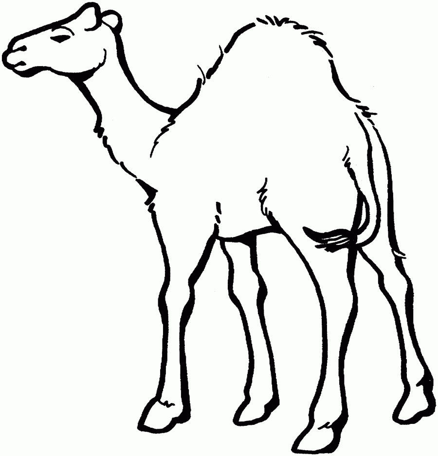 900x937 Camel Drawing Clipart Body Cartoon Images Bactrian Easy