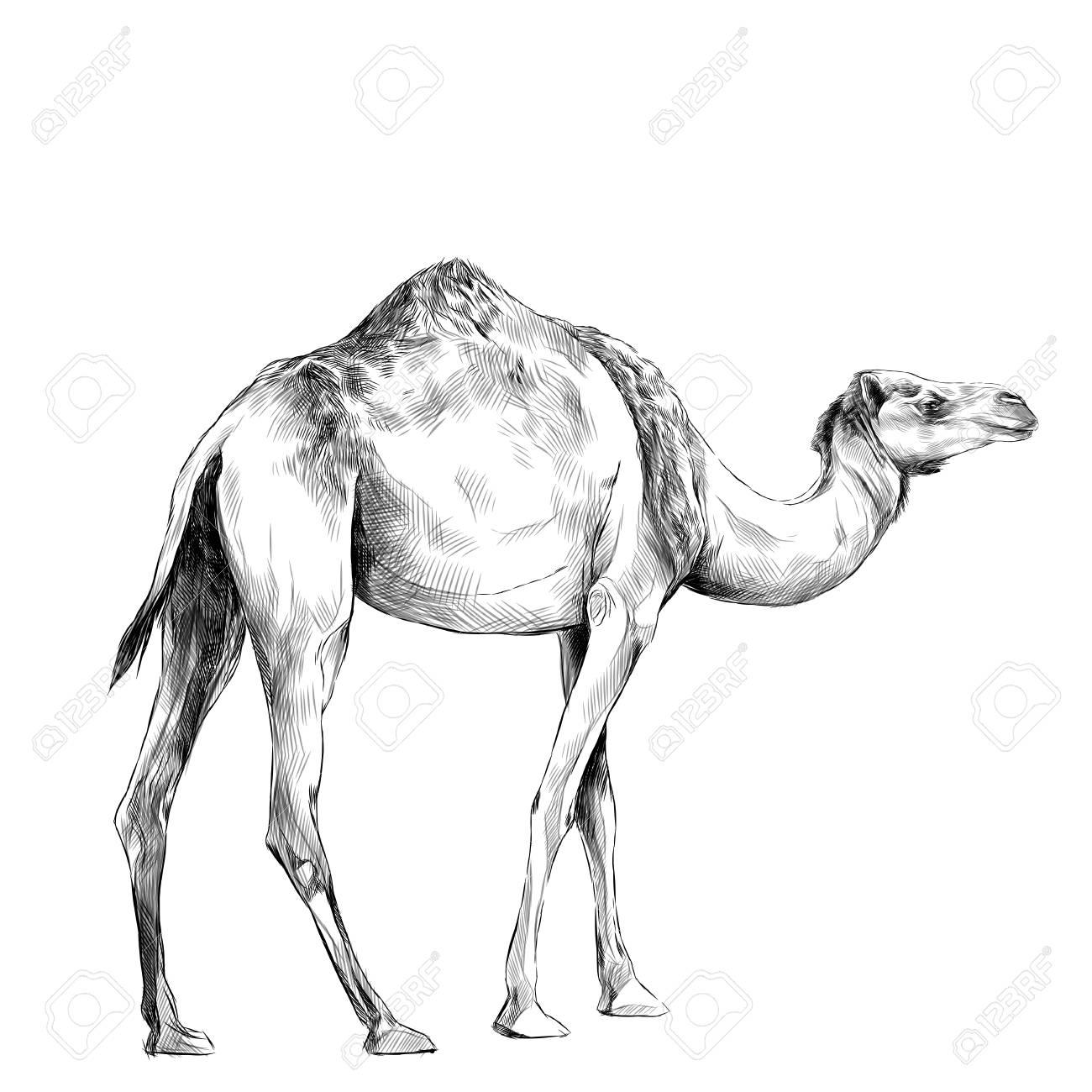 1300x1300 Drawing A Camel Face Competition Easy Caravan Carmi Chaelinn