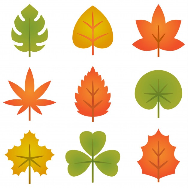626x626 Maple Leaf Vectors, Photos And Free Download