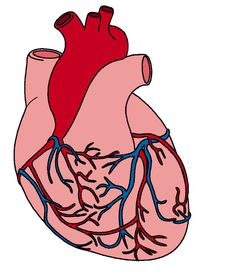 736x882 Collection Of Free Anatomy Drawing Heart Download On Ui Ex