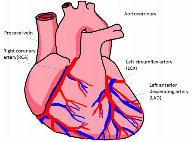 632x465 Heart Coronary Artery System Diagram Of The Human Heart