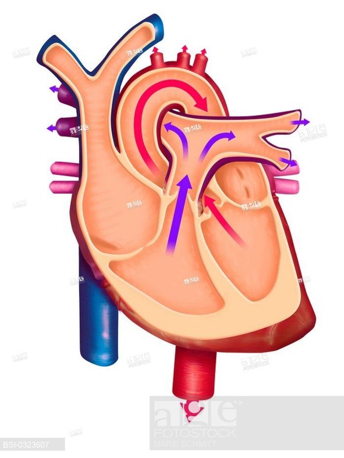 699x931 Blood Circulation, Illustration Cardiac Revolution