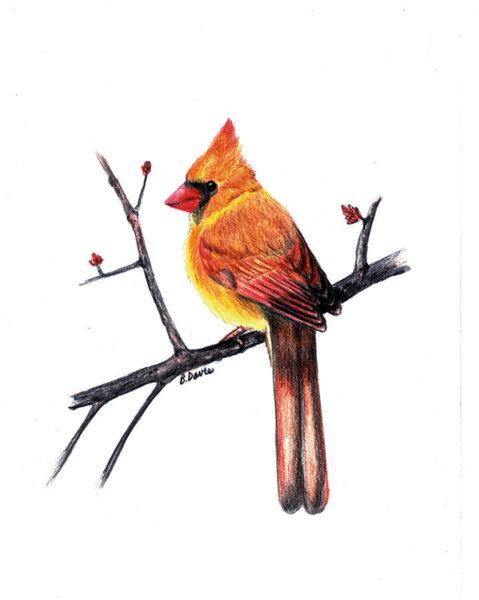 479x600 Female Cardinal Bird Drawings Fine Art America