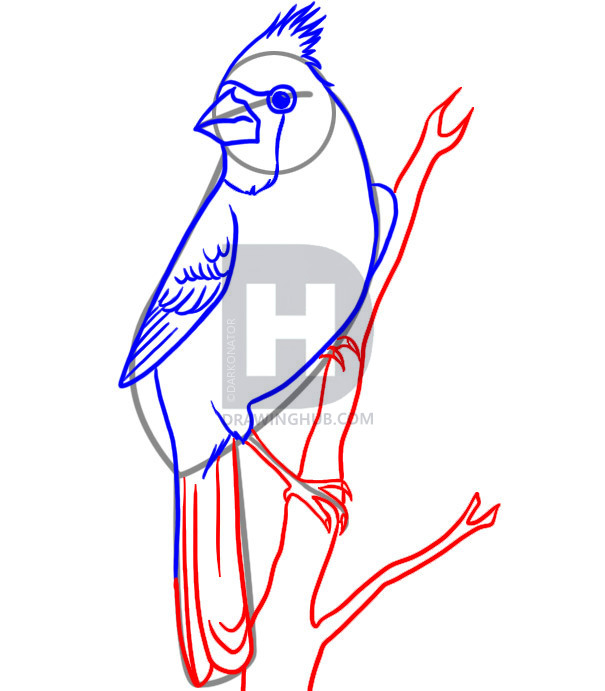 605x691 How To Draw A Cardinal, Step