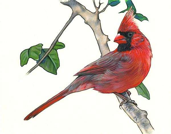 600x470 How To Draw A Cardinal Best Of How To Draw A Cardinal