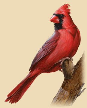 290x360 Northern Cardinal Facts, Information, Photos, And Artwork
