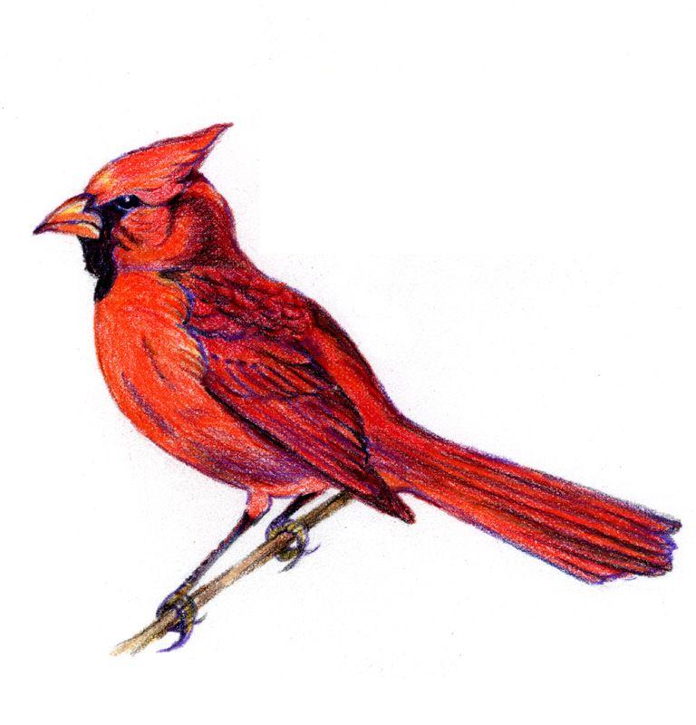 768x800 Cardinal Bird Drawings Birds Bird Drawings, Cardinal Birds, Birds