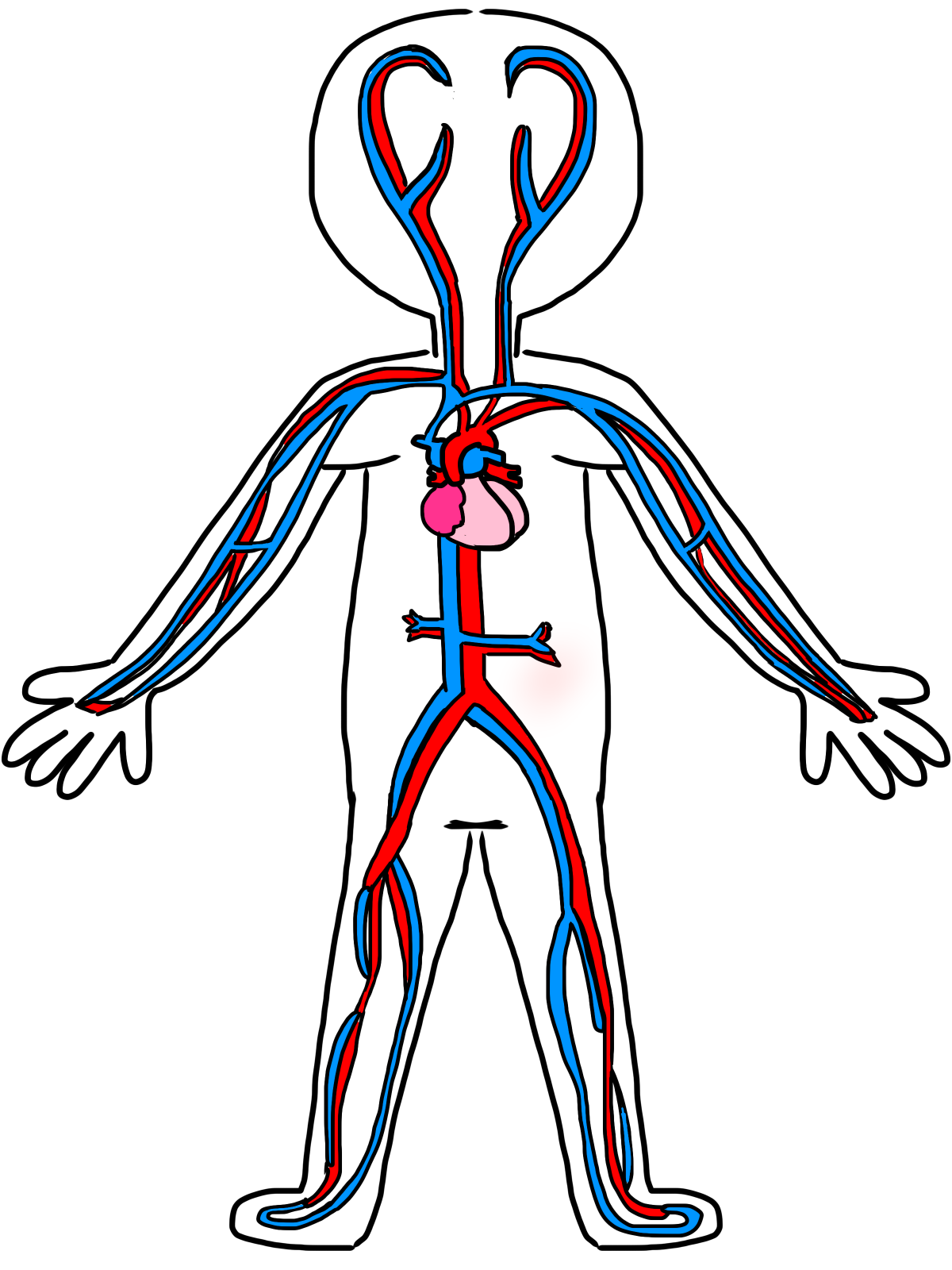 Cardiovascular System Drawing
