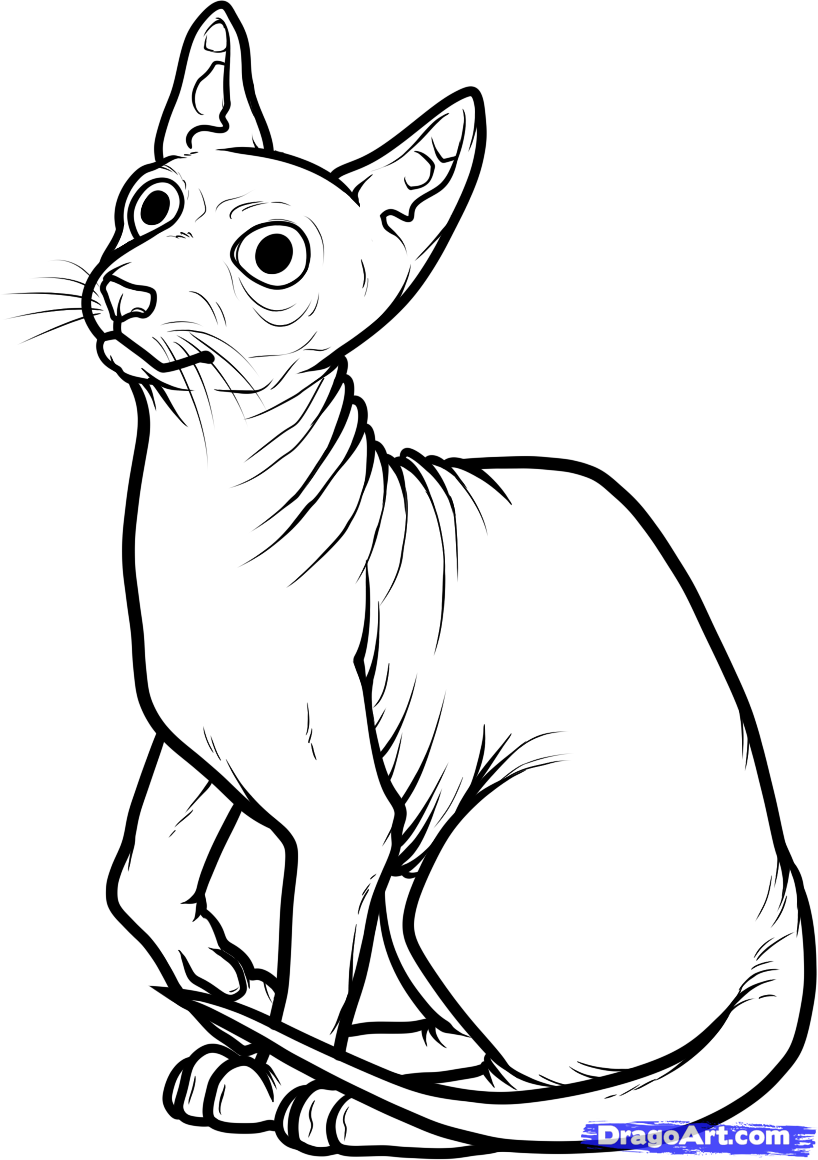 818x1160 How To Draw A Sphynx Cat, Step