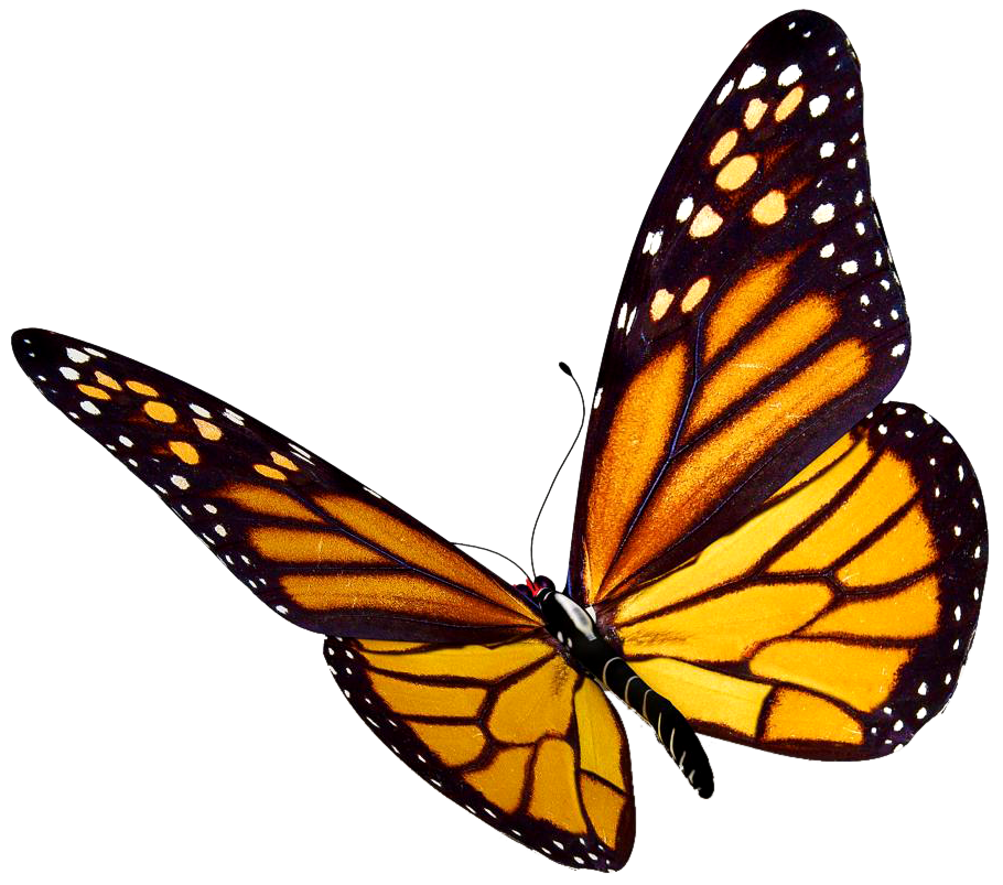 910x803 Collection Of Free Caterpillar Drawing Monarch Butterfly Download