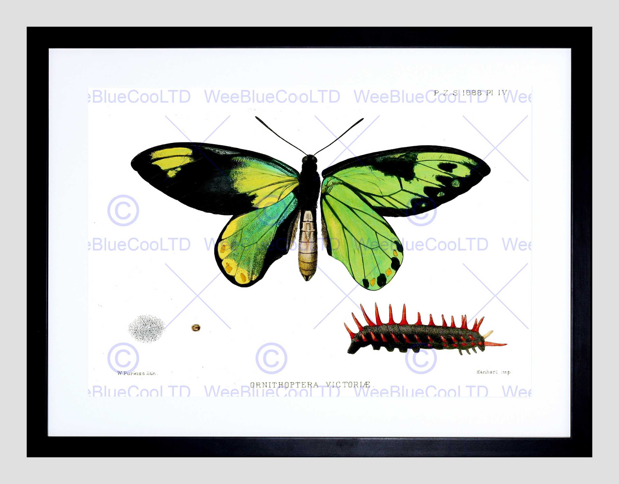2500x1956 Scientific Drawing Butterfly Caterpillar Ornithoptera Victoriae
