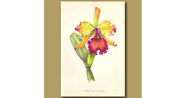 600x315 dow's cattleya orchid genuine antique print for sale
