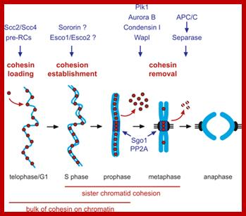 349x307 Cell Cycle Regulation