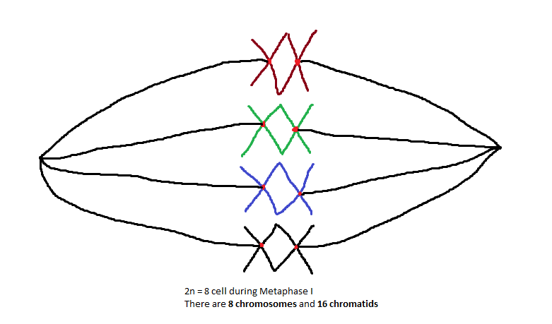 781x459 Chromosome And Chromatid Numbers During Mitosis And Meiosis Dat