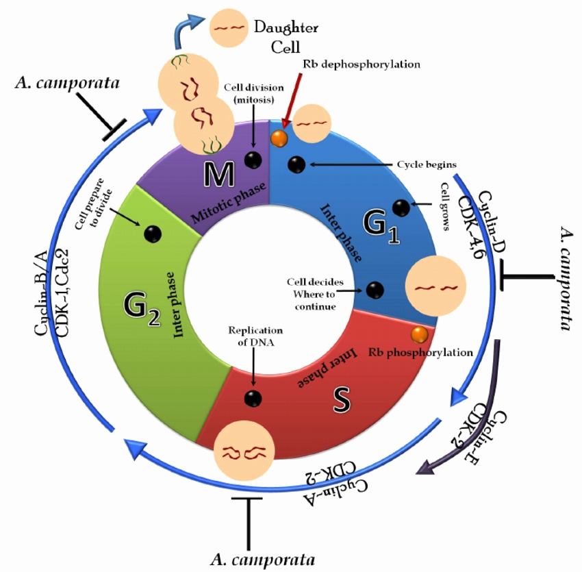 850x835 the cell cycle diagram beautiful chapter cell cycle and cell