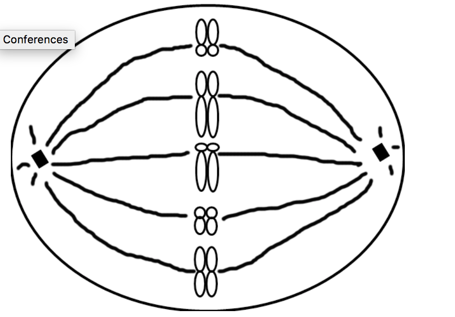 924x644 Solved Draw A Metaphase I Of Meiosis Of This Cell What S