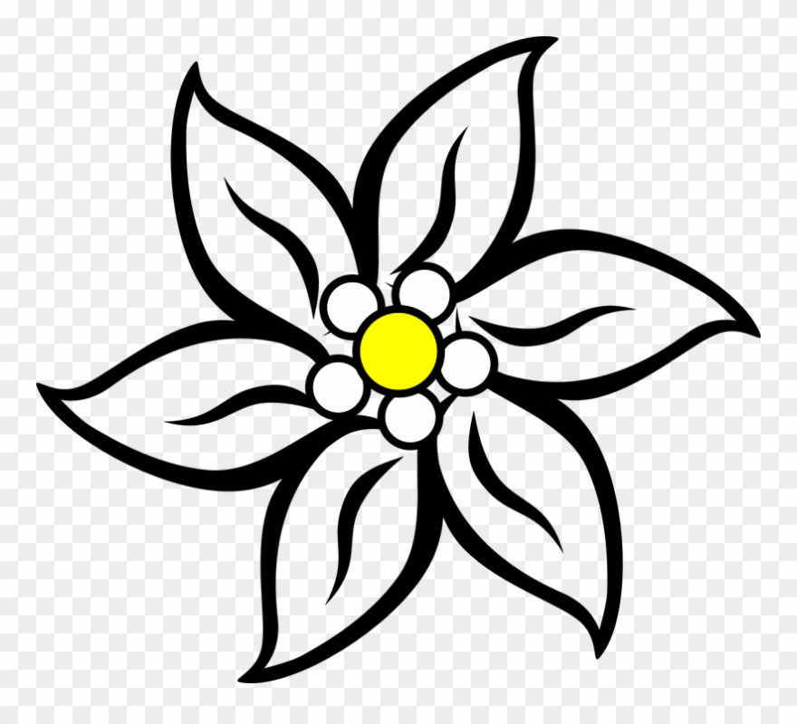 880x800 narcissus drawing edelweiss flower stock
