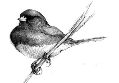 450x315 North American Bird Sketches Paintings Bird Sketch