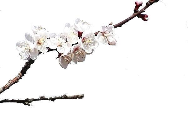 600x399 Cherry Blossom Tree Branch Dieback