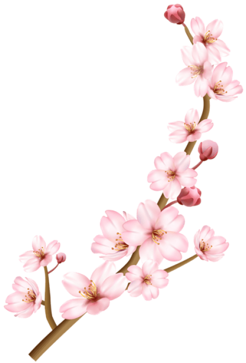 481x710 Cherry Blossom Branch Download Free Clipart With A Transparent