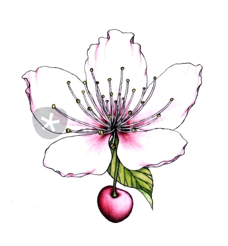 742x800 how to draw a cherry blossom cherry blossom flower drawing