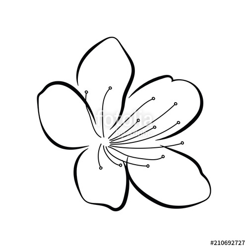 500x500 Blooming Cherry Sakura Branch With Flower Buds Black And White