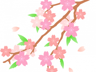 320x240 Cherry Blossom Drawing Cherry Blossom Drawing Flower Free