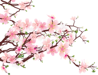 320x243 Drawing Japan Cherry Blossom Transparent Png Clipart Free