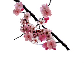 333x250 Collection Of Free Transparent Tattoos Cherry Blossom Download