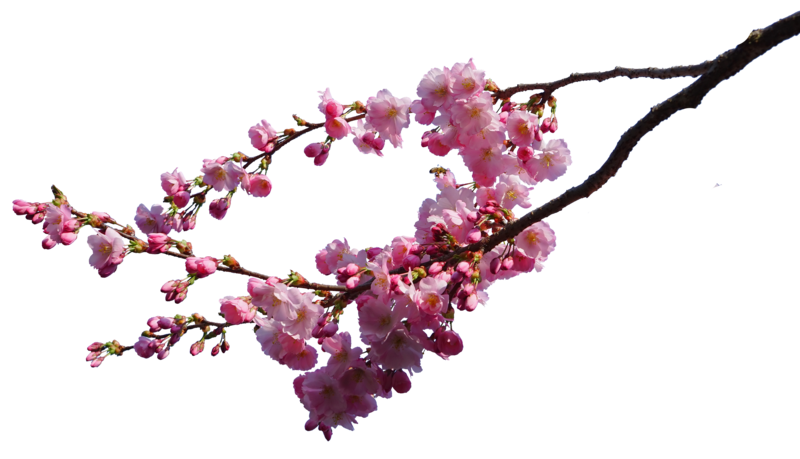 800x459 Collection Of Free Vine Transparent Cherry Blossom Download On Ui Ex