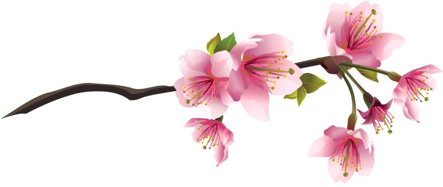 900x380 Draw Cherry Blossom How To Draw Cherry Blossoms Also Trendy Ideas