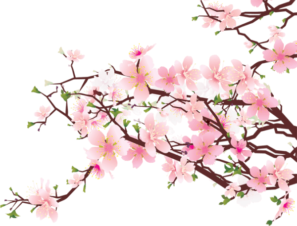 600x457 Petal Drawing Cherry Blossom Transparent Png Clipart Free