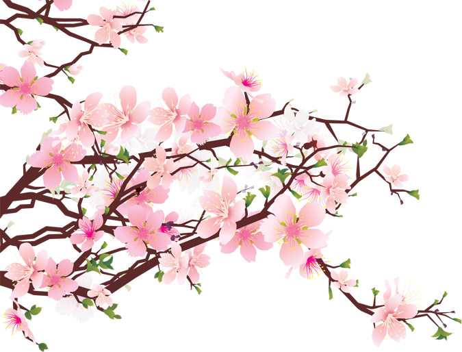675x514 Pink Drawing Cherry Blossom Transparent Png Clipart Free