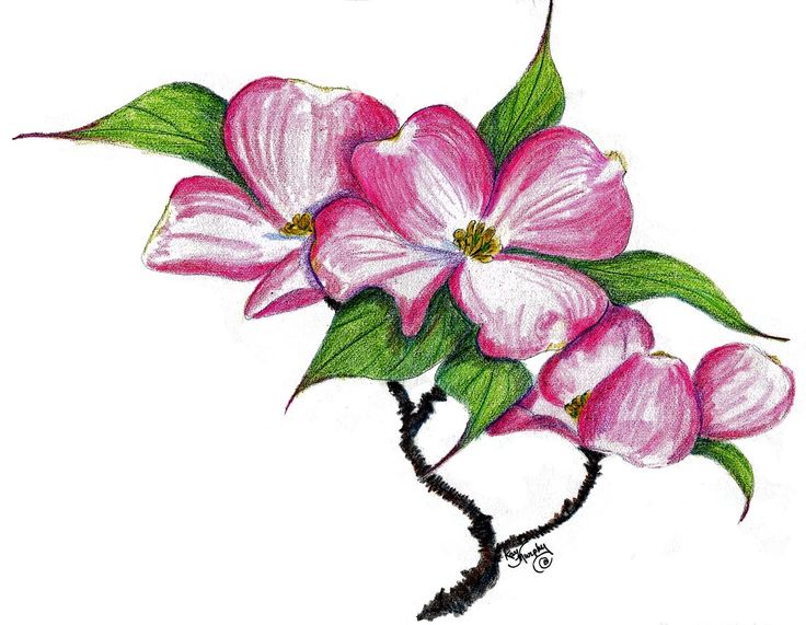 736x571 Clipart Of Dogwood Tree