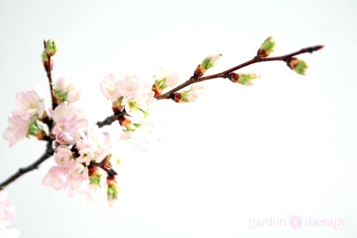 700x467 A Close Up View Of The Cherry Blossom On Branch Meaning In New