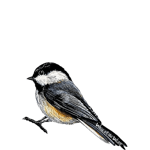 512x512 A Lovely Chickadee