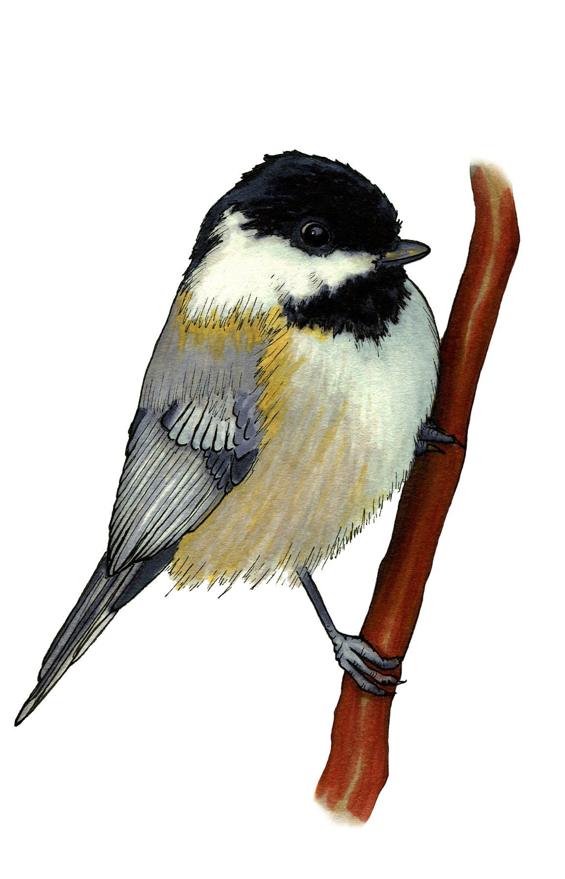 1153x1794 Chickadee Alcohol Marker Print Wall Art Black Capped Etsy