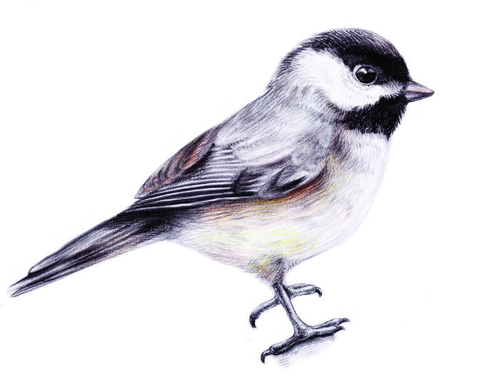 670x542 Chickadee Flying Drawing