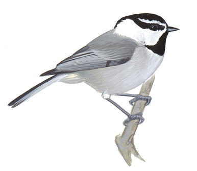 386x335 Black Capped Chickadee Audubon Field Guide