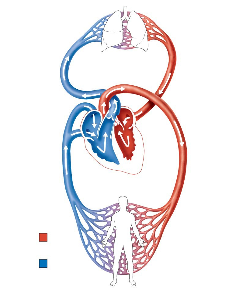 Circulatory System Drawing   Free download on ClipArtMag