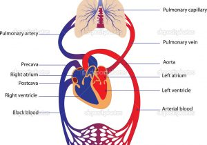 300x210 draw and label the circulatory system circulatory system drawing