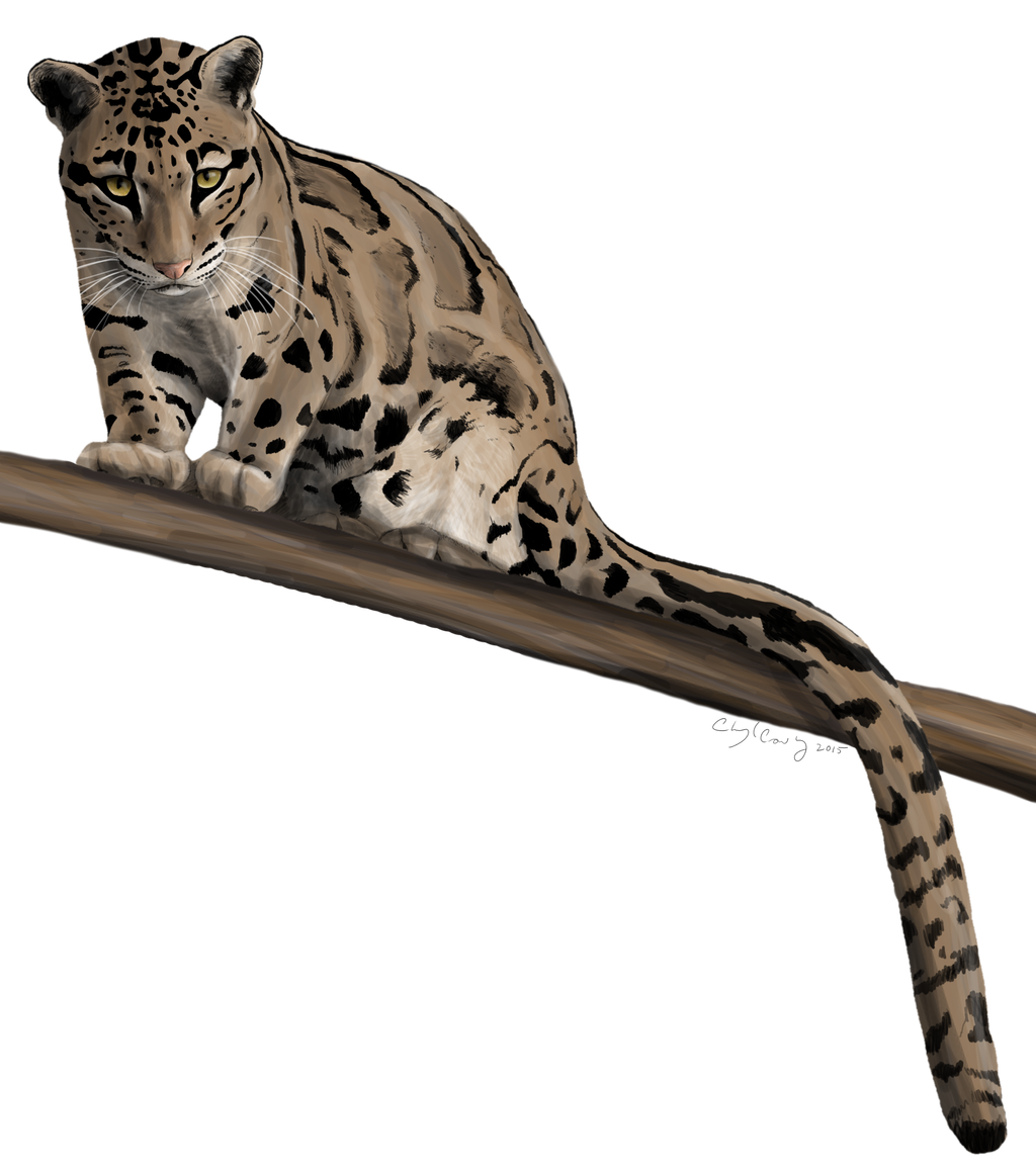1024x1160 Clouded Leopard Stare