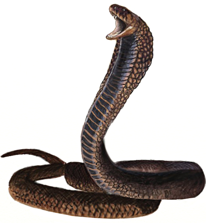 415x450 How To Draw A King Cobra Snake