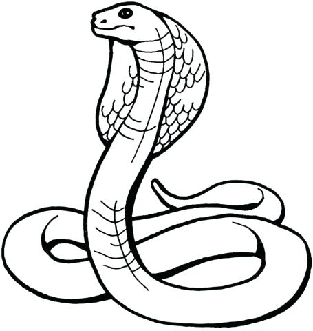 455x480 white king cobra snake king cobra drawing snake white mustang king