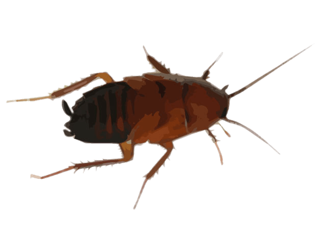 640x480 Cockroach Drawing Transparent Png