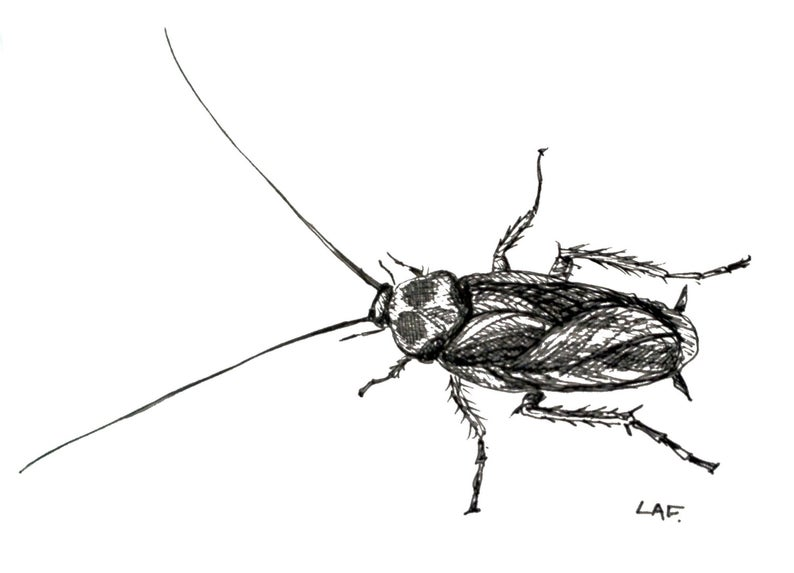 794x573 Cockroach Art Insect Printsoriginal Drawing Or Limited Etsy